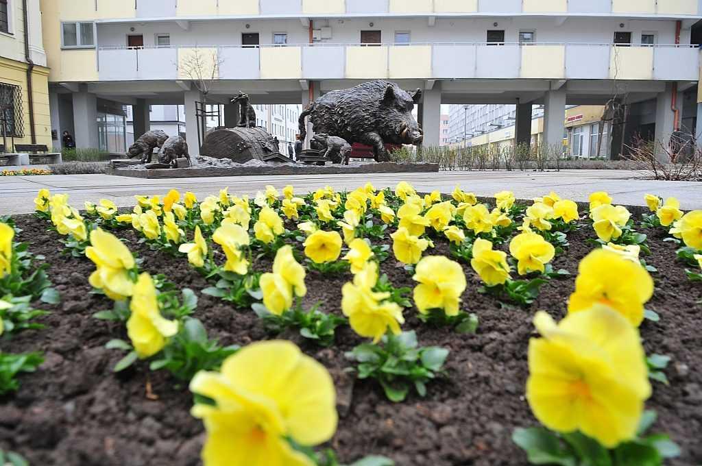 Pierwsze wiosenne kwiaty w Świdnicy