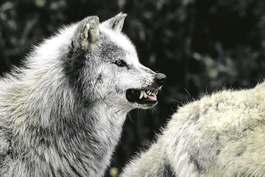 Czy to był atak wilków?